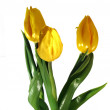 Three Yellow tulips on a white background — Stock Photo #67617737
