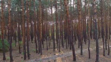 Piękne ścieżki w lesie sosnowym — Wideo stockowe