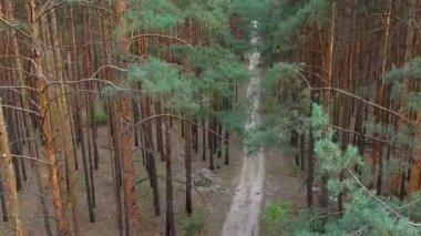 Krásná pěšina v borovém lese — Stock video