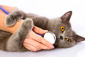 Doctor and a British cat on white background — Stock Photo