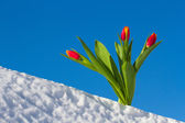 Tulips in the snow — Stock Photo