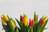 在雪中的郁金香 — 图库照片