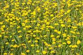 Yellow dandelions on green grass — Stock fotografie