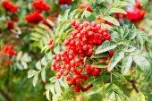 Rowan tree — Stock Photo