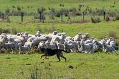 Herding dog — Stock Photo