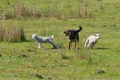 Herding dog — Stock Photo