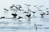 Little black cormorant - Water Birds — Stock Photo
