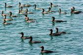 Little black cormorant - Water Birds — Stock Photo