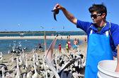 Pelican feeding - Gold Coast Queensland Australia — Stock Photo