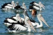 Pelican - Water Birds — Stock Photo