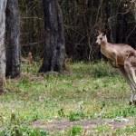 Eastern grey kangaroo jumps — Stock Photo #56665199