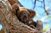 Koala sleep on a tree — Stockfoto