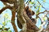 Koala sleep on a tree — Stock Photo