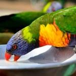 Rainbow Lorikeet parrot drinking — Stock Photo #57887899