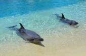 Captive Dolphins — Stock Photo