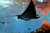 Eagle-ray in Sea World Gold Coast Australia — Stock Photo