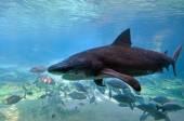 Bull shark in Sea World Gold Coast Australia — Stock Photo