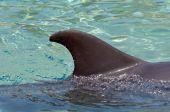 Dolphin fin — Stock Photo