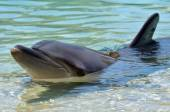 Bottlenose Dolphin on shore — Stock Photo