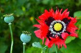 Opium poppy - Papaver somniferum — Stock Photo