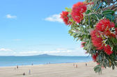 Pohutukawa red flowers blossom in December — Stock Photo