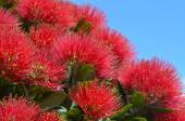 Pohutukawa red flowers — Stock Photo