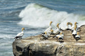 Muriwai gannet colony - New Zealand — Stock Photo