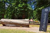 Redwoods in Rotorua New Zealand — Stock Photo