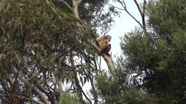 Spider Monkey on a tree — Stock Video