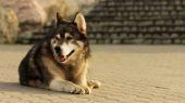 Malamute dog laying on concrete — Stock Photo