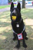 Belgian Shepherd K-9 Taylor providing security at National Tennis Center during US Open 2014 — Stock Photo