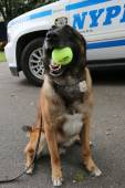 Belgian Shepherd K-9 Wyatt providing security at National Tennis Center during US Open 2014 — Stock Photo