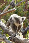 Koala in San Diego Zoo — Stock fotografie