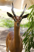 A beautiful gazelle in San Diego Zoo — Stockfoto