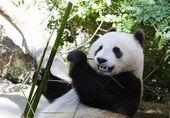 Giant Panda cub Xiao Liwu in San Diego Zoo — Stock fotografie