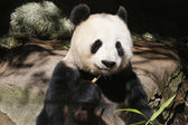 Giant Panda Bai Yun in San Diego Zoo — Stock fotografie