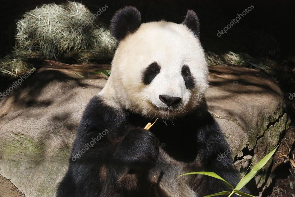 サン ディエゴ動物園にジャイアント パンダ bai yun–  ストック編集用写真