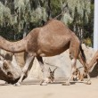 Dromedary camels and antelopes — Stock Photo #54923693