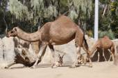 Dromedary camels and antelopes — Stock Photo
