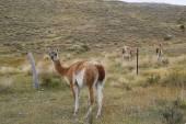 Guanaco in Chilean Patagonia — Stock Photo