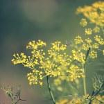 Fennel, Sweet fennel, Florence fennel, Finocchio, Foeniculum vul — Stock Photo #57872131
