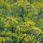 Fennel, Sweet fennel, Florence fennel, Finocchio, Foeniculum vul — Stock Photo #57872199