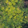 Fennel, Sweet fennel, Florence fennel, Finocchio, Foeniculum vul — Stock Photo #57872233