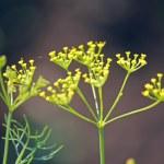 Fennel, Sweet fennel, Florence fennel, Finocchio, Foeniculum vul — Stock Photo #57872289