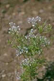 Flowers of Coriander, Coriandrum sativum — Stock Photo