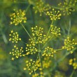 Fennel, Sweet fennel, Florence fennel, Finocchio, Foeniculum vul — Stock Photo #58126937