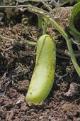 Cucumber, Cucumis sativus — Stock Photo