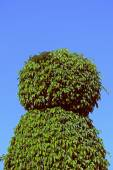 Buxus sempervirens hedging plants — Stock Photo