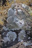 Xanthoparmelia, rock-shield lichen — Stock Photo