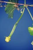 Luffa aegyptiaca, aka Egyptian cucumber — Stock Photo